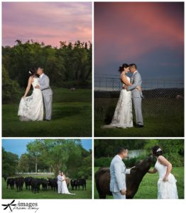 sunset photos, cows